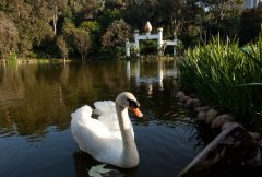 Lake Shrine Swan with Golden Lotus Towers in the background